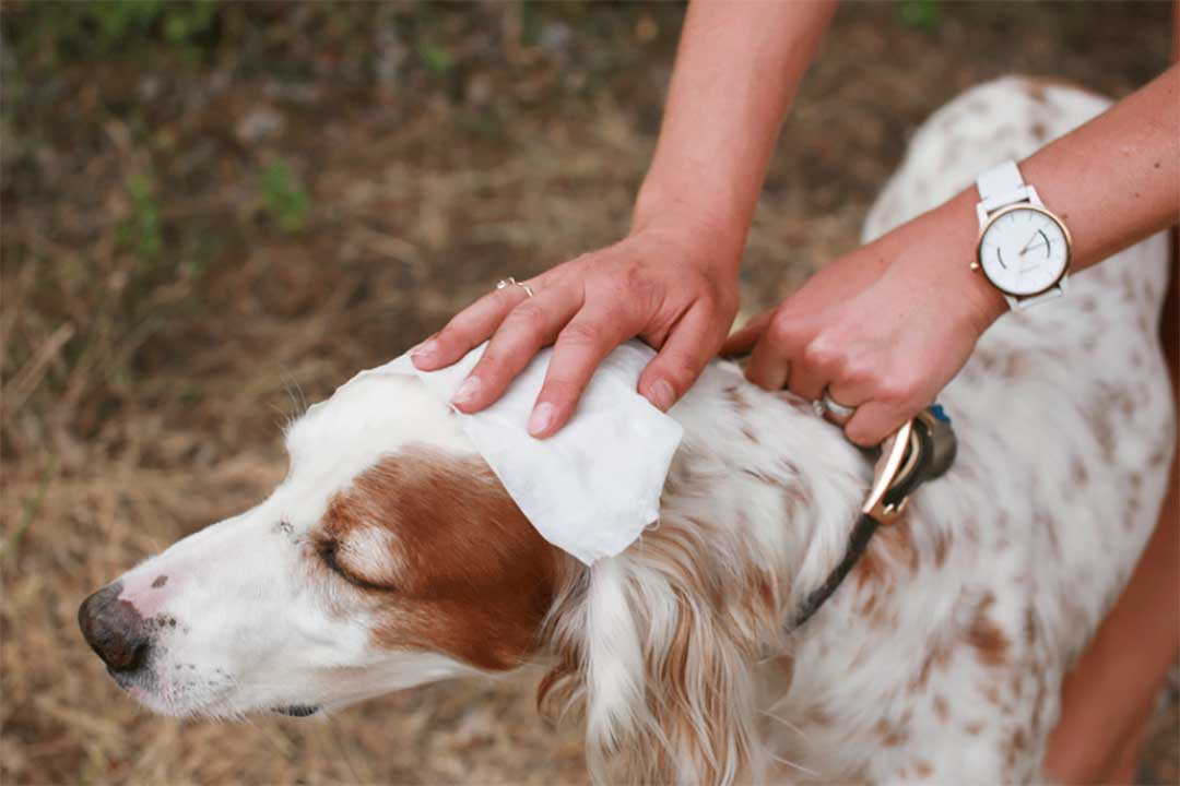 Pet wet wipes can be used to wipe your dog's fur