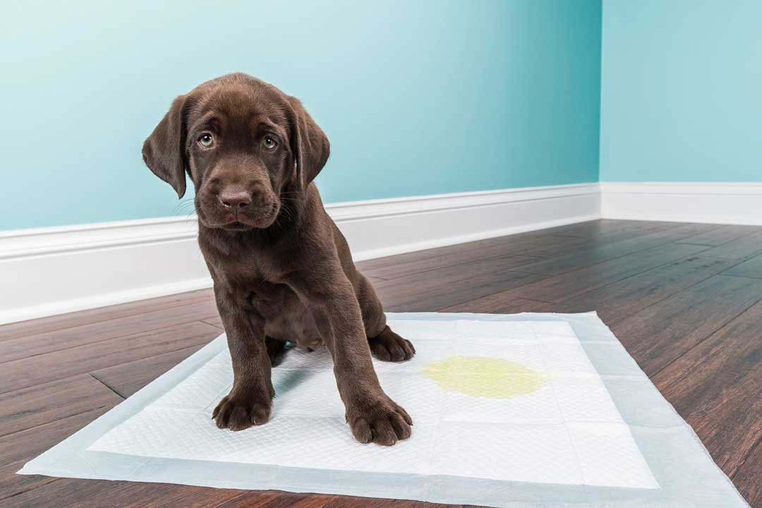The reason your dog needs a puppy pad