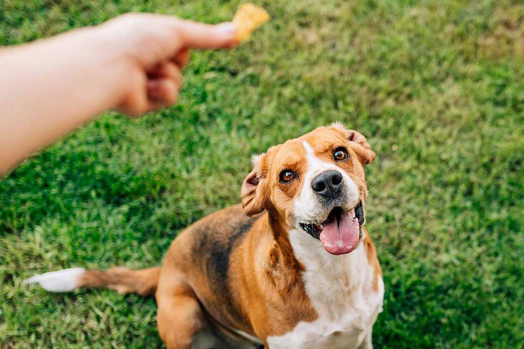 Reward dogs with dried meat